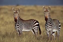 Sept. 29, 2015 - Mountain Zebras, Mountain Zebra Park, South Africa  (Credit Image: © Sator, Whj/DPA via ZUMA Press)