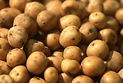 Close up, selective focus photograph of a group of Binje potatoes