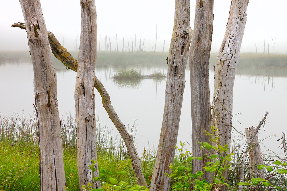 Several snags frame a cluster of additional snags in an estuary of the Skagit Wildlife Area on Fir Island in Washington state. The area was once actively cultivated to provide winter wildlife habitat, but is now being restored to its natural state as a tidal marsh.