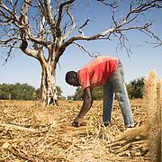 Mamadou harvesting his millet field in Koumbadiouma. Kolda, Senegal.