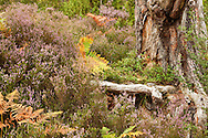 Close up heather and bracken at base of tree on forest floor in caledonian pine forest at Loch an Eilein, Cairngorms National Park, Scottish Highlands, Uk