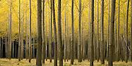 Hybrid Poplar grove, (Populus deltoides) Cottonwood, Boardman, Oregon, USA