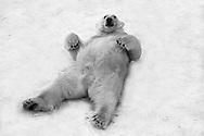 Schweden, SWE, Kolmarden, 2000: Ein entspannt im Schnee liegender Eisbär (Ursus maritimus) schaut neugierig, was sich in seiner Umgebung abspielt, Kolmardens Djurpark. | Sweden, SWE, Kolmarden, 2000: Polar bear, Ursus maritimus, relaxed laying on it's back on snow, curious looking around what's going on, Kolmardens Djurpark. |