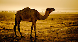 A camel in the Moroccan Sahara Desert near Chegagga in the early morning<br /> <br /> (c) Andrew Wilson | Edinburgh Elite media