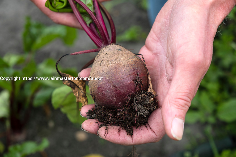 Gardener holding freshly picked beetroot at allotment garden in England UK