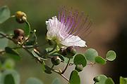 Common Caper Capparis spinosa