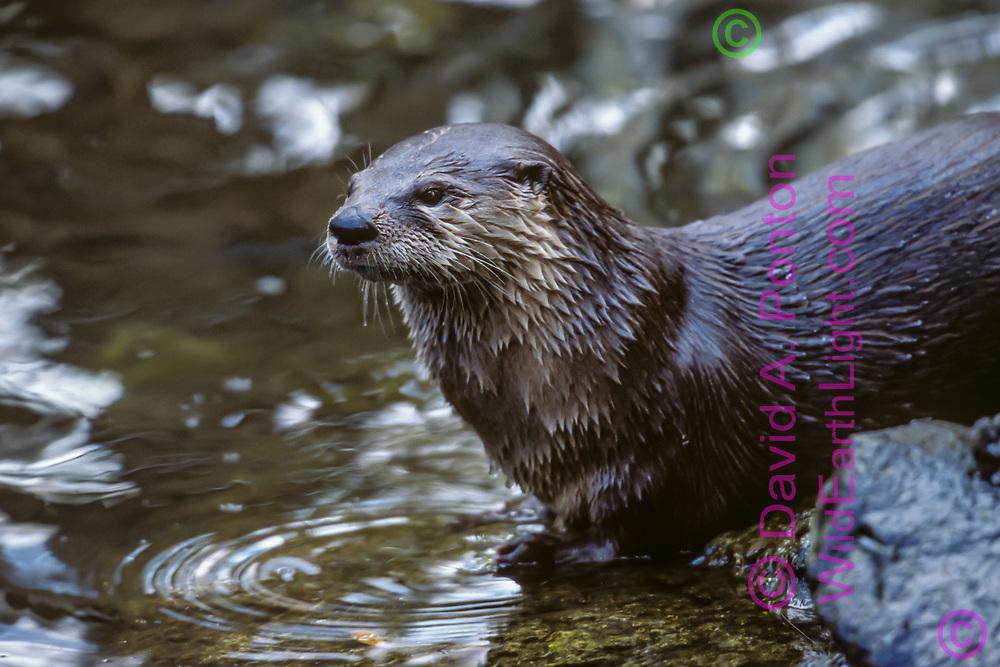 River otter at edge of stream, Florida, © David A. Ponton