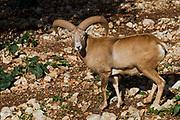 Male Mouflon (Ovis orientalis orientalis) a species of wild sheep