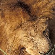 African Lion, (Panthera leo) Portrait of mature male sleeping. Masai Mara Game Reserve. Kenya. Africa.