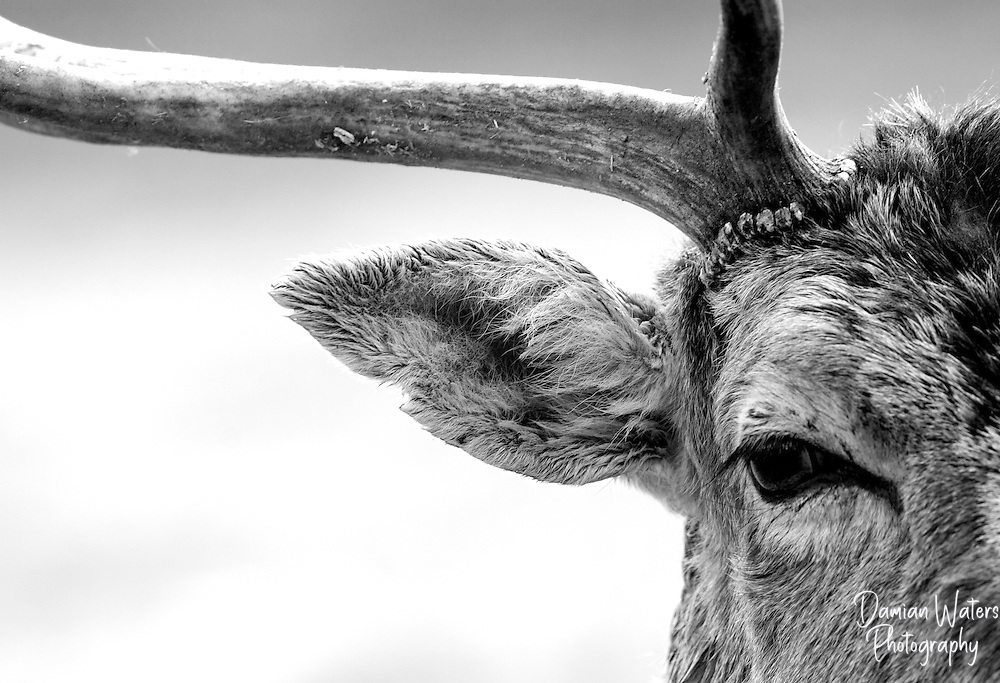 Black and white image of Fallow Deer buck close up with extreme crop to focus on eye and antler