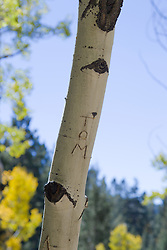 "the name ""Tom"" carved on an Aspen Tree in New Mexico"