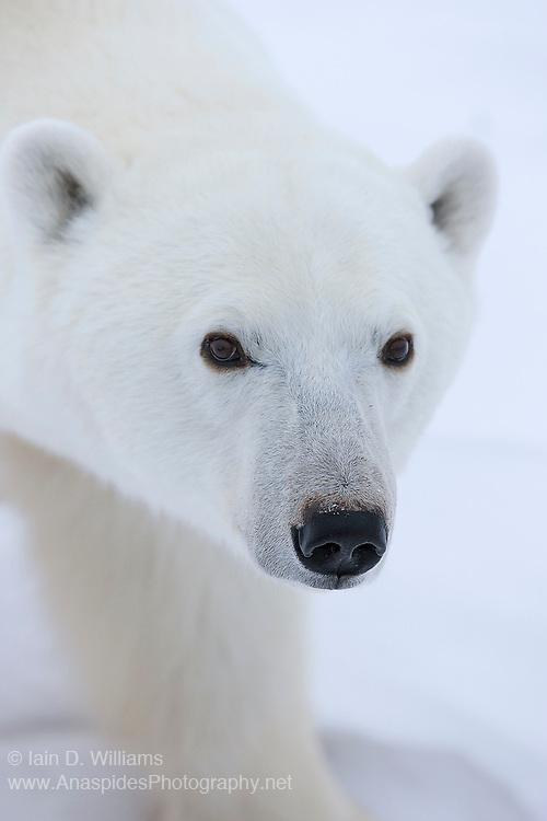 An adult polar bear in the high Arctic in Canada