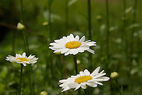 A close-up of a flowering White Daisy in the field on slender,erect stems.