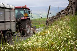 Heath Bedstraw grwoing wild by a lane in Yorkshire. Galium saxatile
