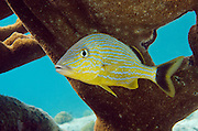 Bluestriped Grunt (Haemulon sciurus)<br /> BONAIRE, Netherlands Antilles, Caribbean<br /> HABITAT & DISTRIBUTION: Protected reefs and drop-offs.<br /> Florida, Bahamas, Caribbean, Gulf of Mexico & Bermuda.