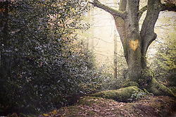 Jan. 13, 2015 - Heart shape carved into old tree in misty forest (Credit Image: © Image Source/Image Source/ZUMAPRESS.com)