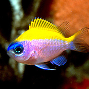 Sunshinefish, juvenile, inhabit deep reefs and walls in Tropical West Atlantic; picture taken St Vincent.