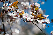 Blooming Almond tree on a blue sky background. Photographed at Parque Del Oeste, Madrid, Spain