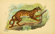 leopard cat (Prionailurus bengalensis Here as Felis bengalensis) is a small wild cat native to continental South, Southeast, and East Asia From the book ' A handbook to the carnivora : part 1 : cats, civets, and mongooses ' by Richard Lydekker, 1849-1915 Published in 1896 in London by E. Lloyd
