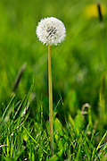 Dandelion growing, England