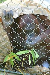 Orangutan, Los Angeles Zoo