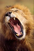 Big yawn, male lion, Serengeti National Park Tanzania