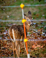 Deer on the correct side of the Electric Fence. Image taken with a  Fuji X-H1 camera and 200 mm f/2 camera + 1.4x teleconverter (ISO 1600, 280 mm, f/2.8, 1/420 sec).