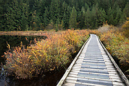Boardwalk through fall foliage on the Spirea bushes along the Rolley Lake Trail at Rolley Lake Provincial Park in Mission, British Columbia, Canada.