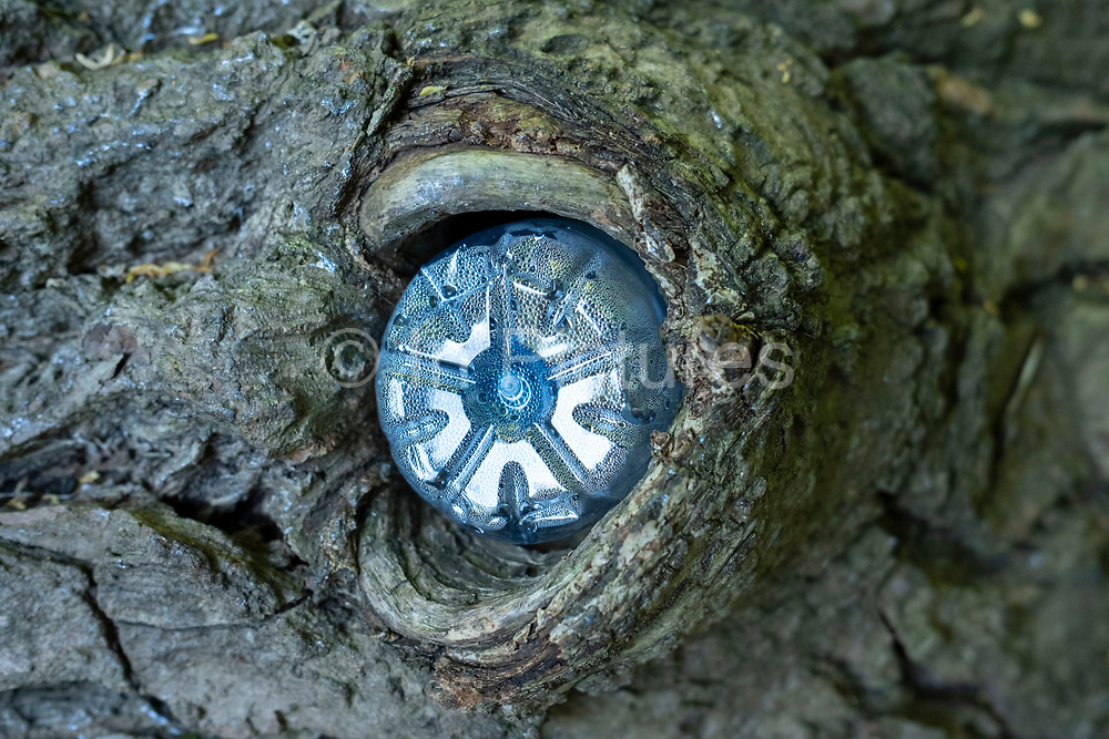 Plastic bottle pushed into a hole in a tree on 7th August 2020 in Birmingham, United Kingdom. Placed into a knot in the tree the natural bark contrasts with the man made material highlighting the plight of the environment in times where mass production and consumerism has taken much of the place of nature.