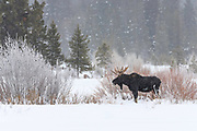 Winter Moose in Yellowtone National Park near Cooke City