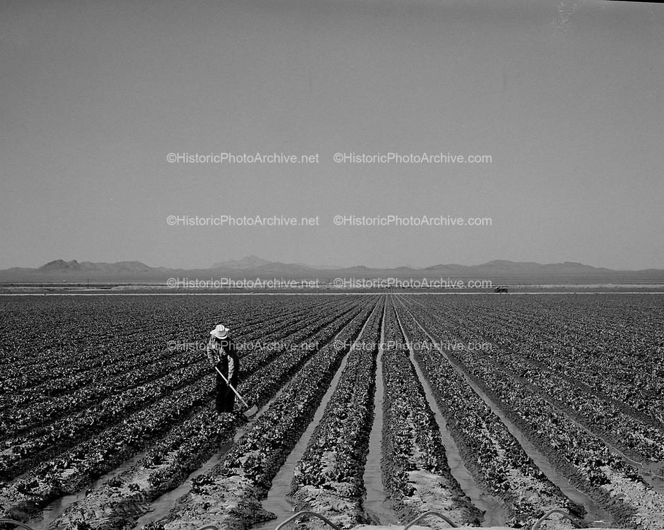 0301-ag. Lettuce irrigation, Arizona, 1950s