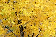 Black Walnut tree (Juglans nigra) in autumn along the Grand Ronde River