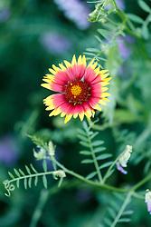 Firewheels and other assorted wildflowers along roadside of Highway 34 between Ennis and Kaufman, Texas, USA. (Need ID