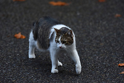November 21, 2018 - London, England, United Kingdom - Larry, official Number 10 mouser, is pictured at Downing Street, London on November 21, 2018. (Credit Image: © Alberto Pezzali/NurPhoto via ZUMA Press)