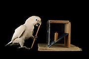 [captive] Goffin's cockatoo (Cacatua goffiniana). In this experiment, the cockatoo learns to use a tool. It needs to poke a treat (peanut) in a box using a stick until the treat falls out off the box. Handling of the stick requires coordination of foot and beak. Goffin's cockatoos or Tanimbar Corellas are endemic to the Tanimbar archipelago in Indonesia. Research on their cognitive abilities is done in the Goffin Lab (Lower Austria) by Dr. Alice M. I. Auersperg. Sequence 8/10.   Goffinkakadu (Cacatua goffiniana). In diesem Versuch muss der Goffinkakadu erlernen, mit einem Stock nach einer Belohnung (Erdnuss) zu stochern, um sie zum Rausfallen aus einer ansonsten unzugänglichen Box zu bringen. Die Handhabung des Stöckchens verlangt Koordination von Fuß und Schnabel. Der Kakadu lernt hierbei den Werkzeuggebrauch. Der Goffinkakadu ist eine Papageienart und kommt in freier Wildbahn ausschließlich auf der indonesischen Inselgruppe Tanimbar vor. Forschung zu kognitiven Fähigkeiten des Goffinkakadus wird im Goffin Lab (Niederösterreich) von Dr. Alice M. I. Auersperg durchgeführt. Sequenz 8/10.