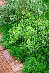 Chamaemelum nobile - Chamomile - with Satureja montana - Winter Savory