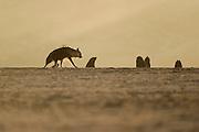 Brown hyena (Parahyaena brunnea oder Hyaena brunnea), Tsau-ǁKhaeb-(Sperrgebiet)-Nationalpark, Namibia | Schabrackenhyäne (Parahyaena brunnea oder Hyaena brunnea) auf Nahrungssuche in der Baker's Bay, Sperrgebiet National Park, Namibia