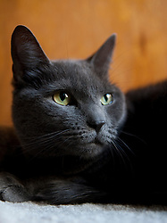 Grey Cat with Green Eyes, Close-up view
