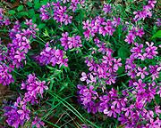 Woodland phlox, Phlox divaricata, blooming in Little River Canyon National Preserve, Alabama.