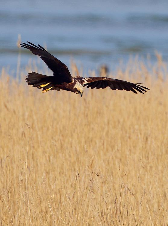 Marsh Harrier female (Circus aeruginosus) on Texel island <br /> , Texel, the Netherlands