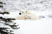 Female polar bear and cub near Hudson Bay, resting in snow  Ursus maritimus, Hudson Bay, Canada