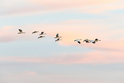 Snow geese in flight at dusk, Bosque del Apache, National Wildlife Refuge, New Mexico, USA.
