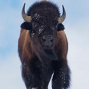American bison (Bison bison), Yellowstone National Park, Montana
