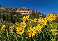 Yellow Balsamroot wildflowers blooming in Albion Basin in Little Cottonwood Canyon near Salt Lake City, Utah.