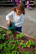 Young girl waters the strawberries at her elementary school garden. Wonderland Elementary School, Laurel Canyon, Los Angeles, California, USA