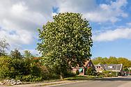 25-04-2020: Blesdijke, Weststellingwerf - Bloeiende kastanjeboom aan de Markeweg