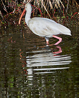 White Ibis (Eudocimus albus). Black Point Wildlife Drive, Merritt Island Wildlife Refuge. Merritt Island, Brevard County, Florida.Image taken with a Nikon D3x camera and 300 mm f/2.8 VR lens.
