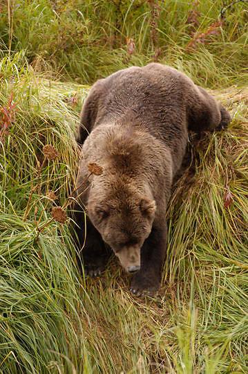 Alaskan Brown Bear, (Ursus middendorffi) Large male walking down grassy hillside. Katmai National Park. Alaska.