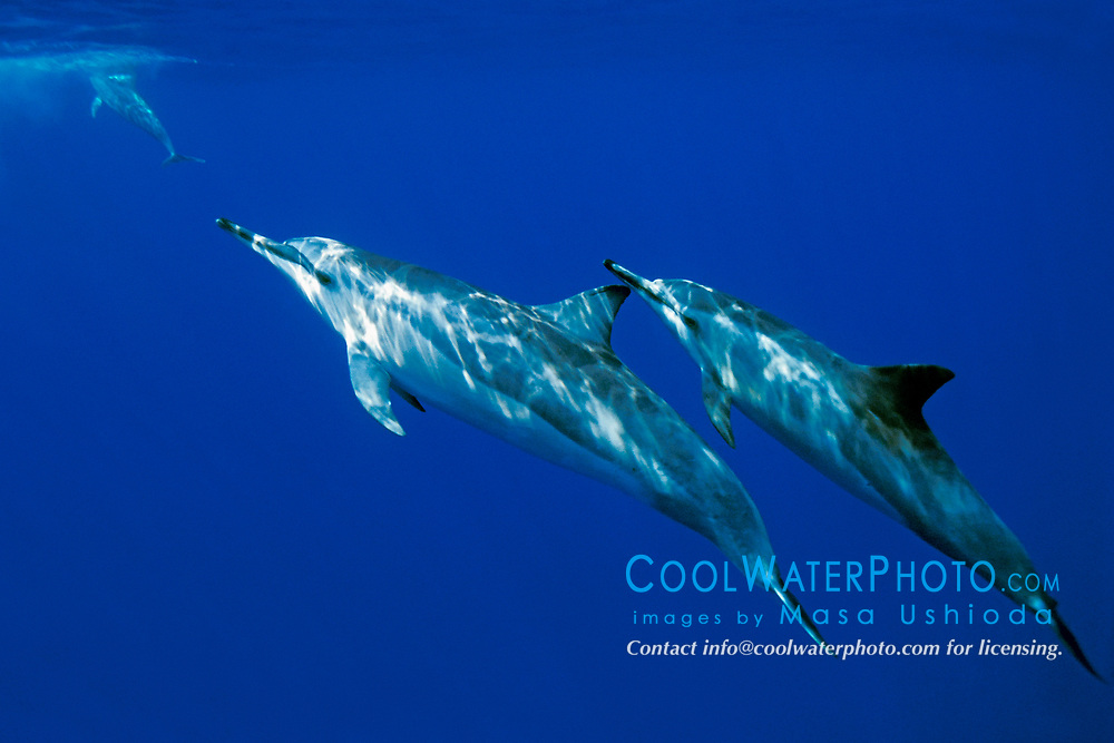 Long-snouted Spinner Dolphins, Stenella longirostris, Big Island, Hawaii, Pacific Ocean