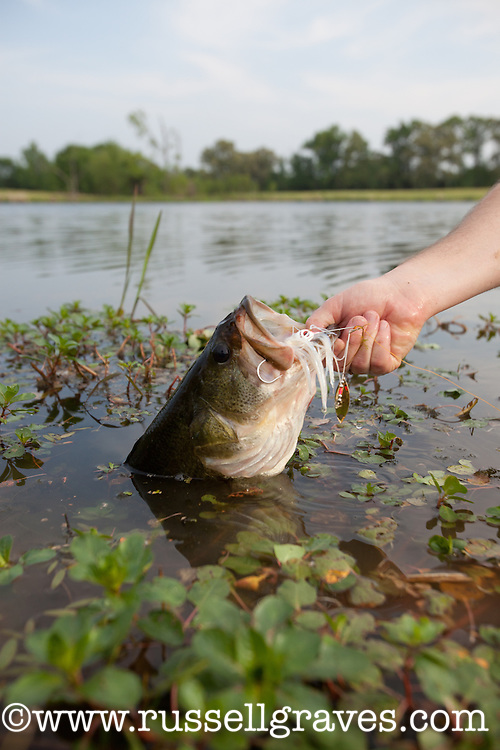 ANGLER HOLDING A LARGEMOUTH BASS IN SOME WEEDS AND CAUGHT ON A WHITE SPINNERBAIT